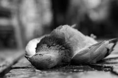 Pidgeon_1