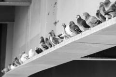 Pidgeon_4