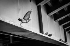 Pidgeon_7